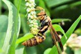 セグロアシナガバチ